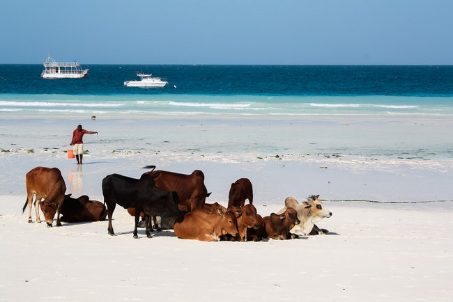 Cows on Nungwi Beach Zanzibar